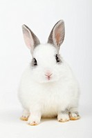 Close_up of a rabbit against white background