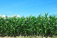 Corn field against blue sky