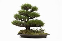 Bonsai of pine