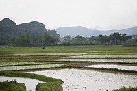 China, guangxi province, yangshuo, rice fields
