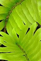 Pattern in ferns
