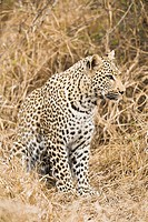 A leopard (Panthera pardus) looking alert in the bush in South Africa