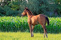 Foal Selle Français SF X Dutch Warmblood  2 month old.