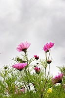 Pink cosmos against an overcast, cloudy sky