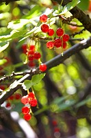 Ripe redcurrants hanging in the bush, backlit by sun