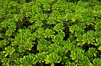 Lush green foliage of Hawaiian Pittosporum plant.