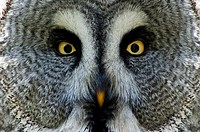Great Grey Owl or Lapland Owl, Strix nebulosa, Portrait