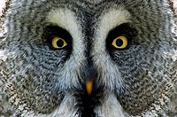 Great Grey Owl or Lapland Owl, Portrait, Strix nebulosa