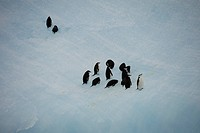 Chinstrap Penguins Pygoscelis antarctica walk up steep iceberg