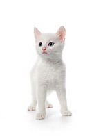 Cute white kitten with blue eyes on white background