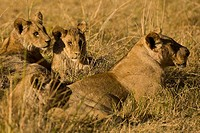 A wild lioness lays in the grass with three cubs.