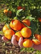 Harvesting tangerines