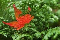 Wet red leaf on cedar tree