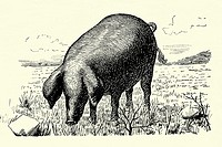 Pig  Spanish race ibérico  Antique illustration  1900