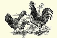 Cock and hens  Antique illustration  1900  Prat race