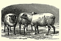 Lambs  Antique illustration  1900