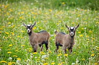 goat _ two cubs standing on meadow