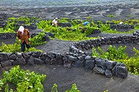 Malvasia vineyards, La Geria, Lanzarote, Las Palmas, Canary Islands, Spain