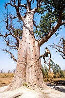 Senegal _ The Small Coast _ Activity _ Climbing baobabs
