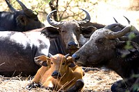 Senegal _ The Small Coast _ The Bandia reservation _ Buffalos