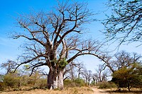 Senegal _ The Small Coast _ The Bandia reservation _ Baobabs