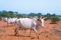 Senegal _ Saint_Louis region _ Buffalos