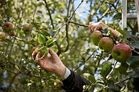 Close up of a man hands picking apples