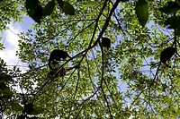 Howler monkeys play in the treetops in the Costa Rican rainforest.