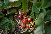 Strawberries ripen on the bush during spring harvest season.