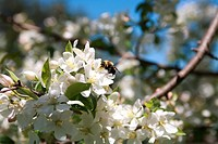 A honey bee visits an apple blossom in Spring.