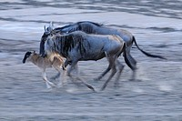 Brindled Gnus/Wildebeests (Connochaetes taurinus), running, Tanzania