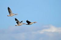 Greylag Geese (Anser anser), Lake Hornborga, Sweden