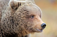 European Brown Bear (Ursus arctos),female, Finland
