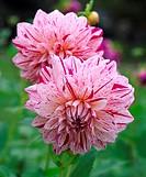 Dahlia cultorum MICKS PEPPERMINT. Close up of stripey pink flowers Christer Andreason.