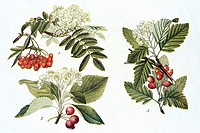 Assorted service trees  Sorbus  sp  Antique illustration  1923