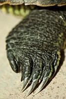 red-eared slider paw close-up,trachemys scripta elegans
