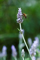 lavender flowers with a bee, lavandula angustifolia