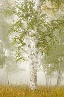 thunder bay, ontario, canada, birch trees in the fog