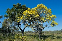 Yellow trumpet tree Tabebuia aurea in flower. Trumpet trees, also known as Ipes, are tropical trees native to the Americas, where they range from nort...