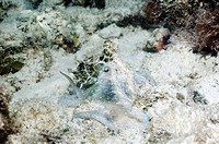 Octopus order Octopoda on the seabed. Unknown species of octopus camouflaged against the bleached sands of a coral lagoon. There are many different sp...