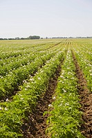 field of flowering potato plants in rows, alberta, canada