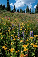 Wildflower meadow in early summer of Arnica, Lupin and Rosy Paintbrush on Shrine Pass near Vail, at about 11, 000 ft in The Rockies, Colorado, USA.