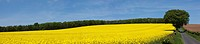 a canola field along a road, northumberland, england