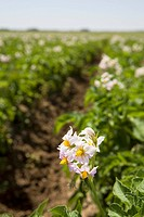 flowering potato plants in a field, alberta, canada