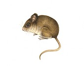 Wood mouse Apodemus sylvaticus, artwork. This small mammal is a rodent found in much of Europe. It reaches a body length of around 9 centimetres. It i...