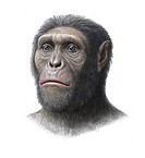Australopithecus sediba. Artwork of the head of a juvenile male Australopithecus sediba hominid, which lived in Southern Africa around 1.8 million yea...