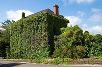 House covered by ivy