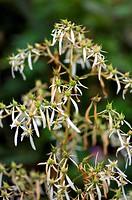 Saxifrage Saxifraga cortusifolia flowers.