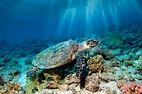 Hawksbill turtle Eretmochelys imbricata swimming over a coral reef. This sea turtle is critically under threat of extinction and is a protected specie...