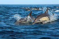 Common dolphins Delphinus delphis. This dolphin is found throughout the world in temperate and warm seas. It usually lives in groups or pods of up to ...